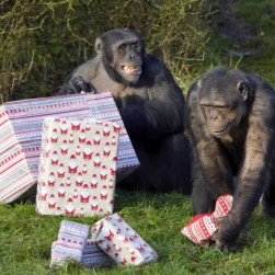 chimps_take_presents_home