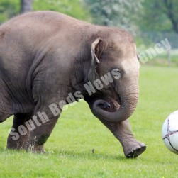 elephant_playing_football