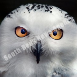snowy_owl_whipsnade