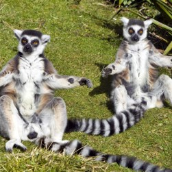 worlds_oldest_lemur_twins